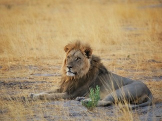 Arpat'ın güreşip yola getirdiği aslanlardan sadece bir tanesi...
