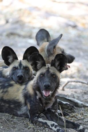 Arpat'ın laboratuvarının çalıştığı yaban köpekleri