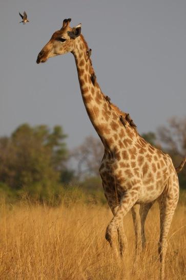 Afirka yabanının Filiz Akın'ı sayılabilecek zarif zürafalar